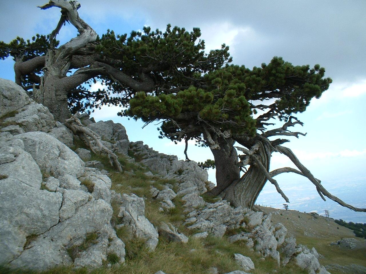 """Monte Pollino """"il pino loricato"""""""