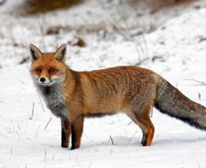 Red fox (Vulpes vulpes) portrait in the snow in winter, Alps, Gran Paradiso National Park, Italy
