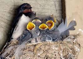 nido di rondini
